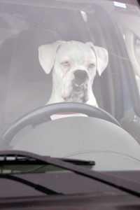 Boxer Behind The Wheel